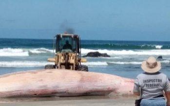 Vara y muere una ballena rorcual común (Balaenoptera physalus) en Playas de Rosarito, BC