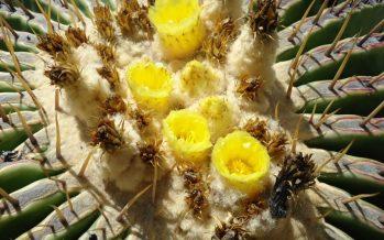 La biznaga (Echinocactus platyacanthus) una planta típica del ecosistema de la región de Tehuacán-Cuicatlán