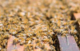Investigadores de la UNAM impulsaron la estandarización de la producción de miel; vigente NOM PROY-NOM-004-SAG/GAN-2018