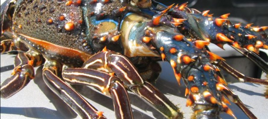 Vigente épocas y zonas de veda de tres especies de langosta (Panulirus sp.) en Océano Pacífico y Golfo de California
