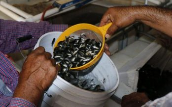 """Resiembran 471 mil crías de tilapia en la presa Adolfo López Mateos """"El Varejonal"""" para beneficiar a pescadores locales"""
