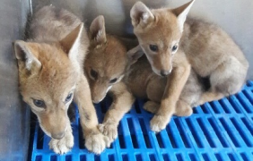 ¿Tráfico ilegal en la Profepa? Rescatan vivos y sanos siete cachorros de coyote (Canis latrans) en Guanajuato, pero esa procuraduría solo reporta cuatro
