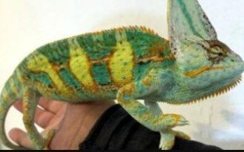La Profepa emite dictamen técnico por posesión ilegal de 32 reptiles en la ZMVM