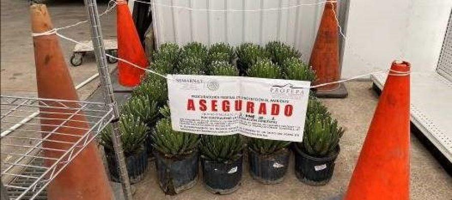 Aseguran 34 ejemplares de agave noa, comercializado de manera irregular en vivero de Nuevo León