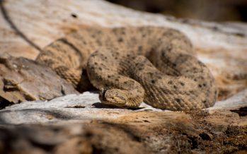 Comprendiendo el veneno de las serpientes de cascabel: componentes, efectos y uso potencial