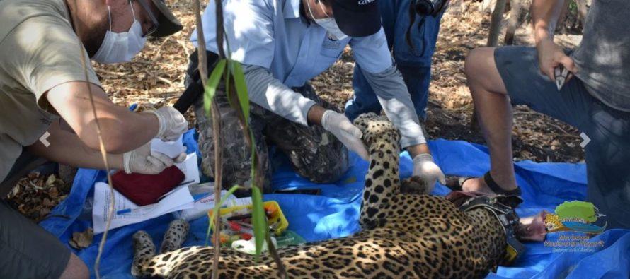 Por queja de depredación, capturan y liberan con collar satelital, un jaguar (Panthera onca) en la Reserva de la Biósfera Marismas Nacionales Nayarit