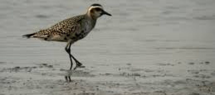 Baja presencia de aves migratorias en sur de México y Centroamérica este 2020, reporta la Red Hemisférica de Reservas de Aves Playeras