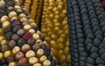 Caída de 30 % en rendimiento de cultivos, por variación de lluvias, en zona de domesticación del maíz en México