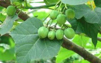 Crea el IPN la variedad Sevangel de Jatropha curcas L, una especie vegetal para uso alimenticio y medicinal
