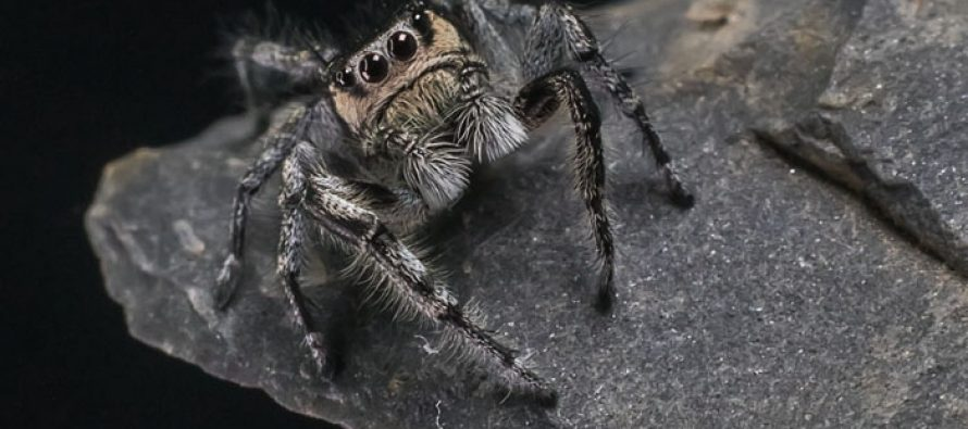 La araña que salta y danza