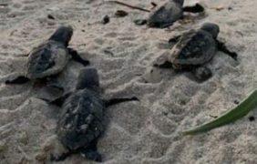 Vigilan y protegen arribo de tortugas marinas en Telchac Puerto, Yucatán