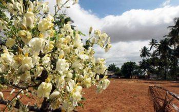La moringa (Moringa oleifera), es un árbol medicinal y alimenticio: Mark Olson (Instituto de Biología UNAM)