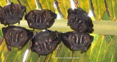 Los murciélagos, los únicos mamíferos voladores, maravilla de la ingeniería y vitales para el equilibrio ecológico