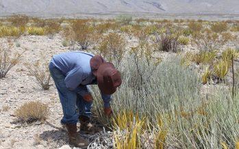 UAdeC apoya a comunidades rurales productoras de cera de candelilla (Euphorbia antisyphilitica) con transferencia tecnológica