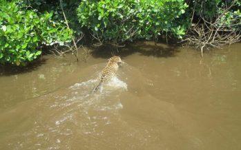 Video de jaguar (Panthera onca) nadando en Marismas Nacionales en 2017, es un reconocimiento a la investigación y protección en esta RB