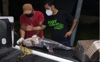 Red de Varamiento de Mamíferos Marinos de Quintana Roo, atiende varamiento y muerte de dos delfines (Tursiops truncatus) al sur del estado