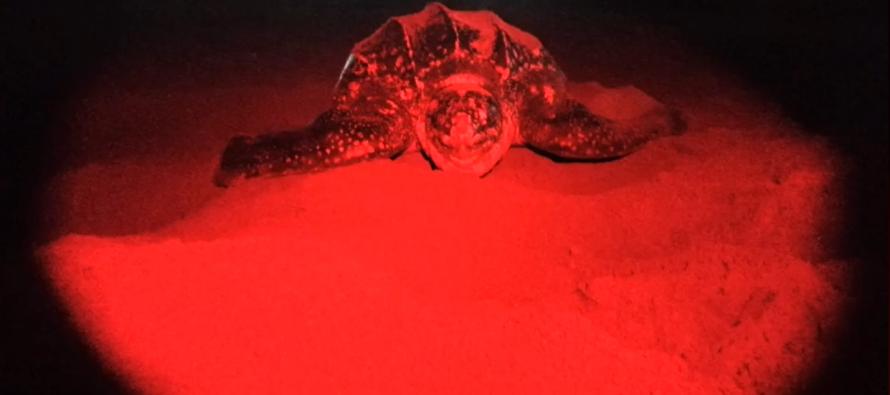Ejemplar de tortuga laúd (Dermochelys coriácea) desova en playas de Manzanillo