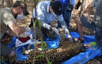 Para monitoreo, colocan collar satelital a jaguar hembra (Panthera onca) en la Reserva de la Biósfera Marismas Nacionales Nayarit