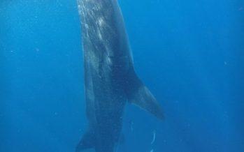 Investiga la Conanp observación y nado ilegalmente, de un tiburón ballena en Quintana Roo