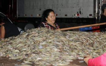 Pescadores ribereños de camarón capturan 290.15 toneladas en el primer día de zafra camaronera