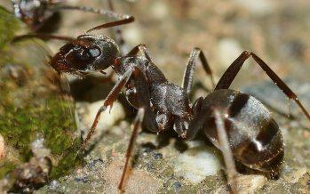 Ingrid Fetter (UNAM) investiga envejecimiento de los óvulos femeninos, desde la plasticidad fenotípica de las hormigas
