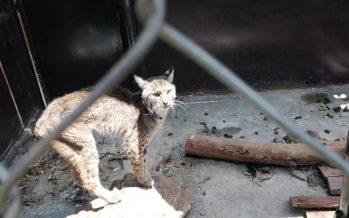 Rescata la Fiscalía de Michoacán del cautiverio, un lince rojo (Lynx rufus) en precarias condiciones físicas y de salud cautiverio