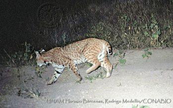 Estimación de la densidad y dieta del lince (Lynx rufus) en seis localidades de México, estudio de la UNAM