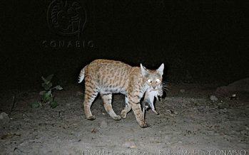 UNAM: Evaluación de la situación de las poblaciones de lince rojo (Lynx rufus) en México