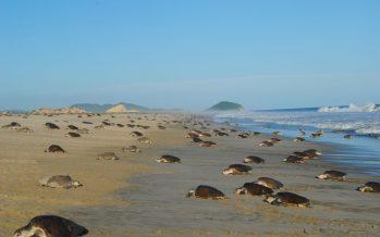 Aclara la Conanp, cobra por acceso al santuario tortuguero de Playa Escobilla en Oaxaca