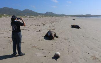 La Profepa, sin indicios sobre la muerte de 137 lobos marinos de California (Zalophus californianus) en Comondú Baja California Sur; aparecen 25 más