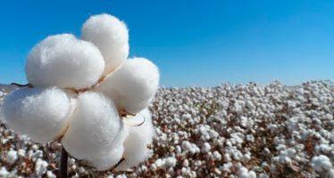 La Semarnat está en contra de semilla genéticamente modificada de algodón, pero la SADER mantiene 22 permisos vigentes