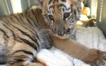 Aseguran cachorro de tigre de Bengala (Panthera tigris tigris) en Naucalpan, Estado de México