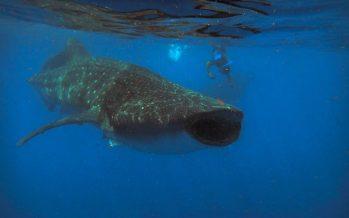La Profepa exige cumplir con la NOM 171 Semarnat de observación y nado con tiburón ballena (Rhincodon typus)