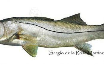Trabajan en restauración de población de robalo garabato (Centropomus viridis), para garantizar viabilidad de pesquería