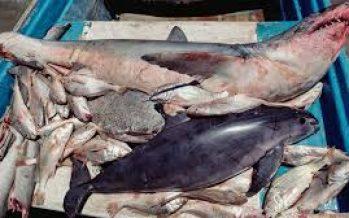 Vigente Acuerdo que regula la pesca en zonas marinas del Golfo de California, para controlar pesca ilegal y proteger a la vaquita marina