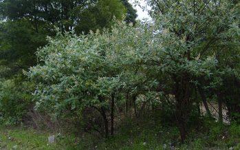 Extractos obtenidos de raíces, semillas y hojas del tepozán (Buddleja cordata) con potencial antibacteriano y amebicida