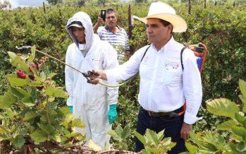 La producción de berries en México, sostenida con mecanismos de dominio, subordinación y 13 horas de trabajo a 28 pesos por hora: UAM