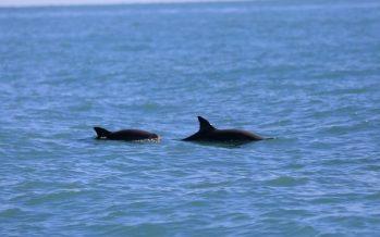 Proyecto multidisciplinario de la UAM, para rescate de la vaquita marina (Phocoena sinus), gana el Ocean Hackathon 2020 México