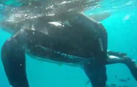 En el Mediterráneo, en Ceuta, rescatan tortuga laúd de una tonelada de peso, atrapada en una pértiga marinera
