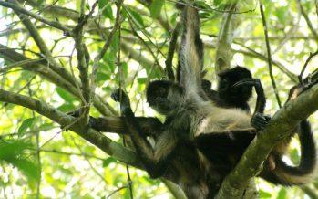 Sistema social organizacional de los monos araña (Ateles sp), funcionan como computadora colectiva: Gabriel Ramos (UNAM)