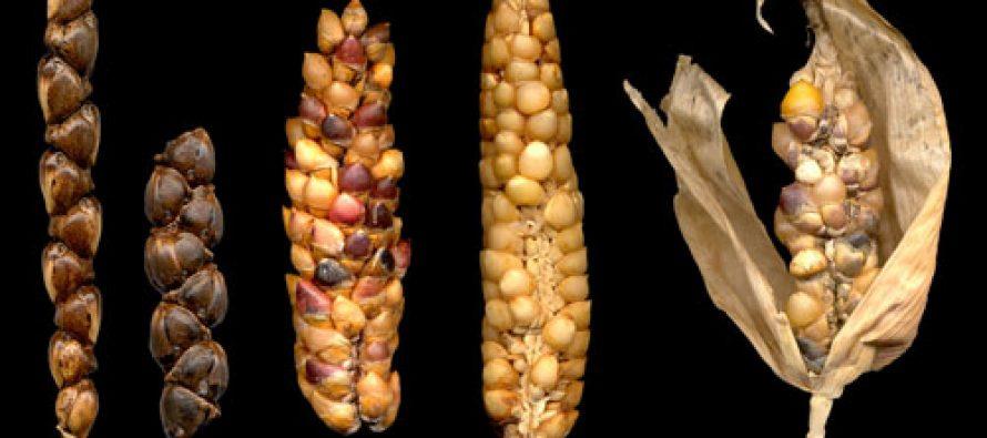 Teocintles, ancestros de todas las variedades del maíz criollo mexicano *