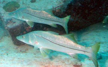 Ecosur, encuentro virtual: Los peces migratorios en México. Investigación y retos para su conservación