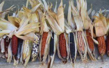 En un contexto de acoso biotecnológico para su modificación genética, en México, los maíces nativos, son esencia de la biodiversidad alimentaria