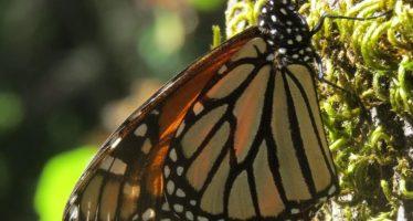 Ya están en el norte y noreste de México las primeras mariposas monarca en su migración al sur de la Mesa Central Mexicana