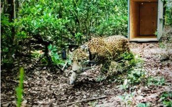 Jaguar (Panthera onca) atropellado, es liberado dos meses después, ya restablecido, en la Reserva de la Biósfera Sian Ka´an