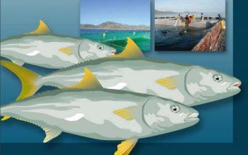Inapesca: Manual para el Cultivo de Seriola lalandi (Pisces: Carangidae), en Baja California Sur, México