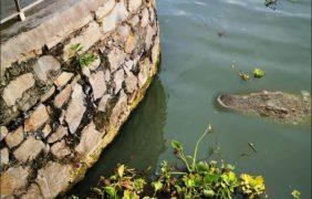 En alerta autoridades, por avistamientos de cocodrilos (Crocodylus acutus) en lago de Chapala