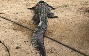 Rescatan un cocodrilo lesionado (Crocodylus acutus), avistado en la playa Pie de la Cuesta de Acapulco, Guerrero