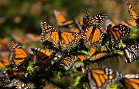 En peligro de extinción la migración y la mariposa monarca (Danaus plexippus)