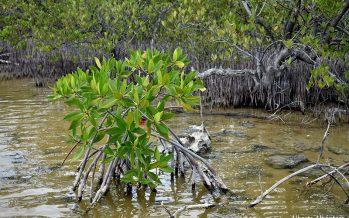 Revisan estatus de los manglares mexicanos en Taller Nacional de Carbono Azul para México